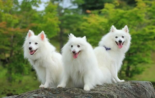 Японский-шпиц-собака-Описание-особенности-уход-и-содержание-породы-1