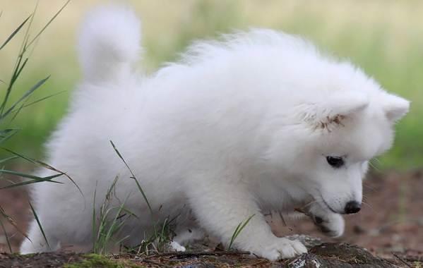 Японский-шпиц-собака-Описание-особенности-уход-и-содержание-породы-10