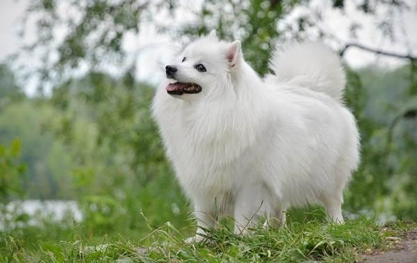Японский-шпиц-собака-Описание-особенности-уход-и-содержание-породы-11