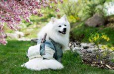 Японский шпиц собака. Описание, особенности, уход и содержание породы