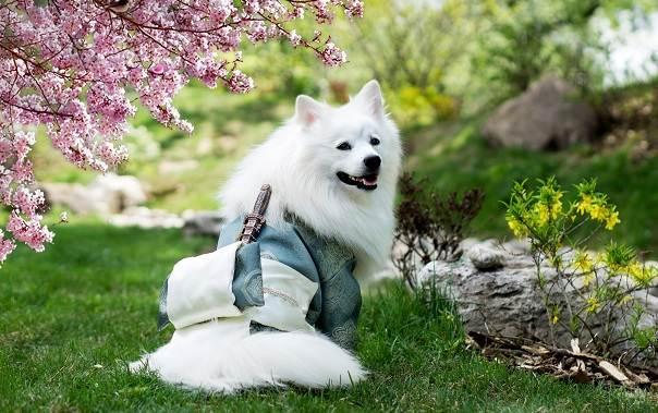 Японский-шпиц-собака-Описание-особенности-уход-и-содержание-породы-14