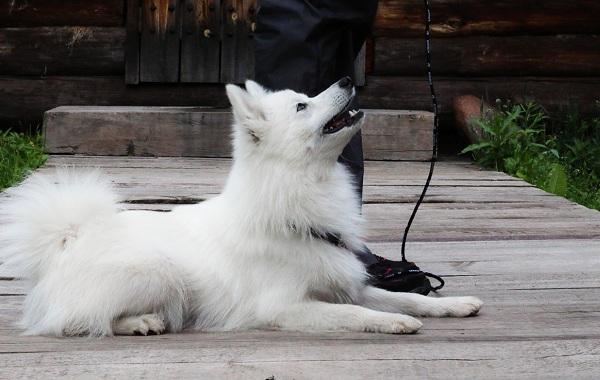 Японский-шпиц-собака-Описание-особенности-уход-и-содержание-породы-15