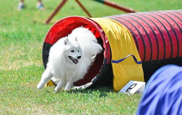 Японский-шпиц-собака-Описание-особенности-уход-и-содержание-породы-16