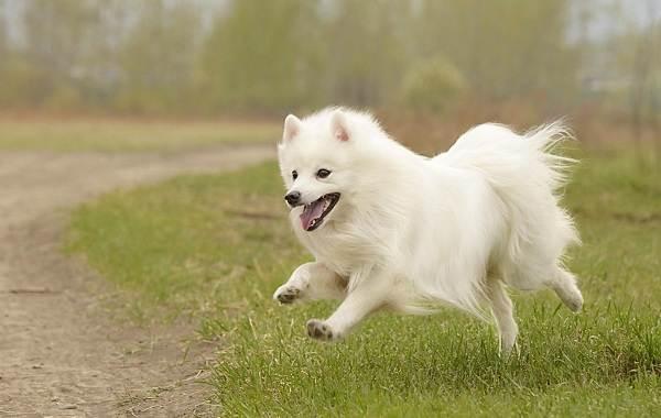 Японский-шпиц-собака-Описание-особенности-уход-и-содержание-породы-3