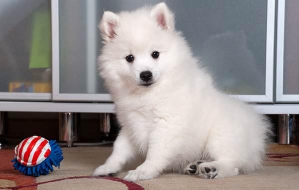 Японский-шпиц-собака-Описание-особенности-уход-и-содержание-породы-4