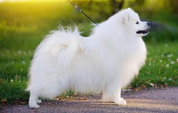 Японский-шпиц-собака-Описание-особенности-уход-и-содержание-породы-5