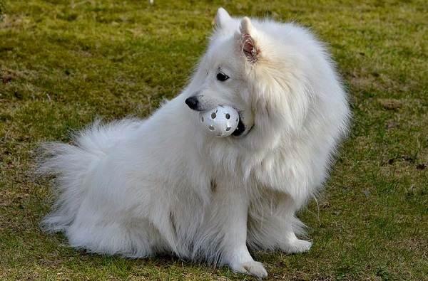 Японский-шпиц-собака-Описание-особенности-уход-и-содержание-породы-7