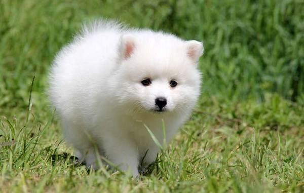 Японский-шпиц-собака-Описание-особенности-уход-и-содержание-породы-9