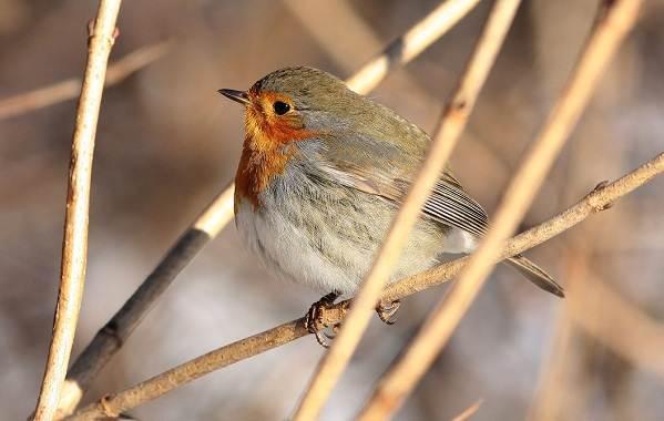 Зарянка-птица-Описание-особенности-образ-жизни-и-среда-обитания-зарянки-1