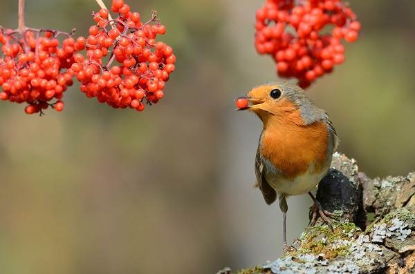 Зарянка-птица-Описание-особенности-образ-жизни-и-среда-обитания-зарянки-10