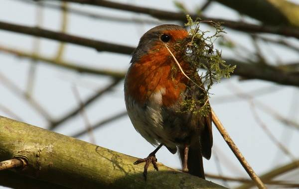 Зарянка-птица-Описание-особенности-образ-жизни-и-среда-обитания-зарянки-11