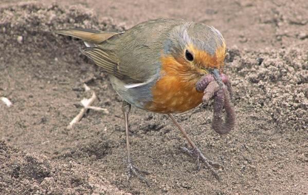 Зарянка-птица-Описание-особенности-образ-жизни-и-среда-обитания-зарянки-12