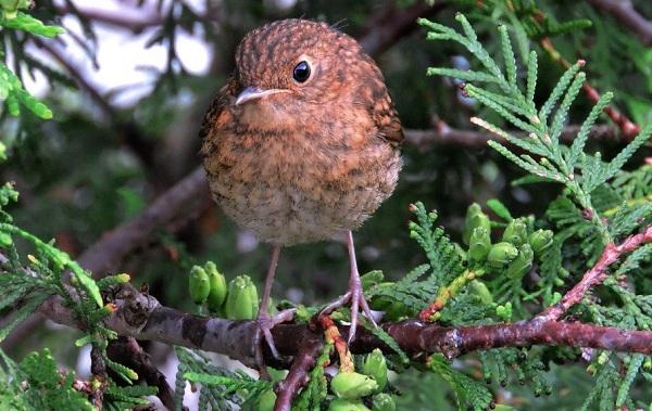 Зарянка-птица-Описание-особенности-образ-жизни-и-среда-обитания-зарянки-13