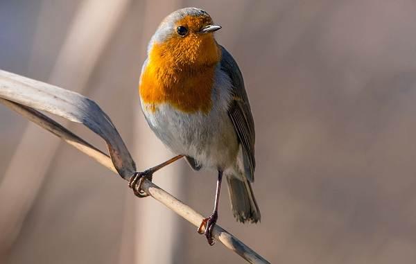 Зарянка-птица-Описание-особенности-образ-жизни-и-среда-обитания-зарянки-2