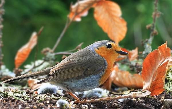 Зарянка-птица-Описание-особенности-образ-жизни-и-среда-обитания-зарянки-3