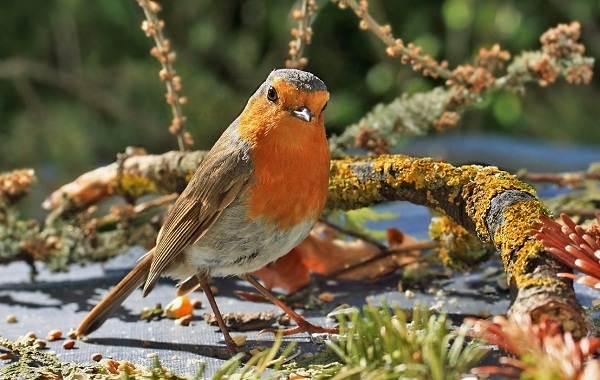 Зарянка-птица-Описание-особенности-образ-жизни-и-среда-обитания-зарянки-5