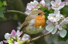 Зарянка птица. Описание, особенности, образ жизни и среда обитания зарянки