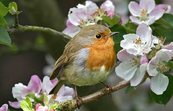 Зарянка-птица-Описание-особенности-образ-жизни-и-среда-обитания-зарянки-7