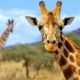 Жираф животное. Описание, особенности, образ жизни и среда обитания жирафа