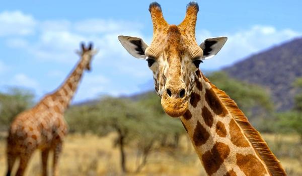 Жираф-животное-Описание-особенности-образ-жизни-и-среда-обитания-жирафа-13
