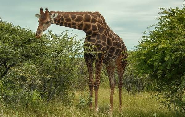 Жираф-животное-Описание-особенности-образ-жизни-и-среда-обитания-жирафа-2