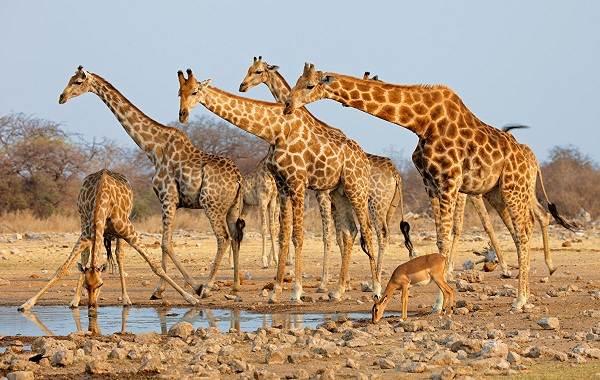 Жираф-животное-Описание-особенности-образ-жизни-и-среда-обитания-жирафа-3