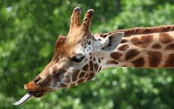 Жираф-животное-Описание-особенности-образ-жизни-и-среда-обитания-жирафа-4