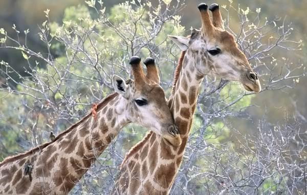 Жираф-животное-Описание-особенности-образ-жизни-и-среда-обитания-жирафа-6