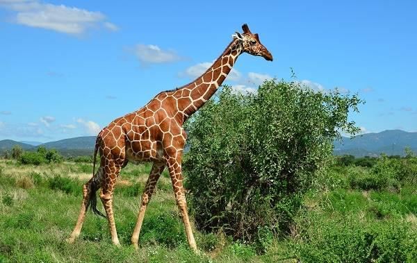 Жираф-животное-Описание-особенности-образ-жизни-и-среда-обитания-жирафа-7