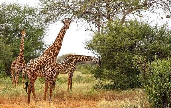 Жираф-животное-Описание-особенности-образ-жизни-и-среда-обитания-жирафа-9