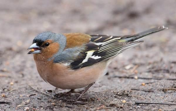 Зяблик-птица-Описание-особенности-образ-жизни-и-среда-обитания-зяблика-1