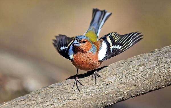 Зяблик-птица-Описание-особенности-образ-жизни-и-среда-обитания-зяблика-10