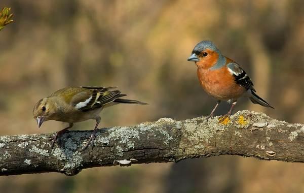Зяблик-птица-Описание-особенности-образ-жизни-и-среда-обитания-зяблика-12