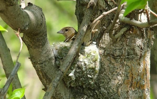 Зяблик-птица-Описание-особенности-образ-жизни-и-среда-обитания-зяблика-13