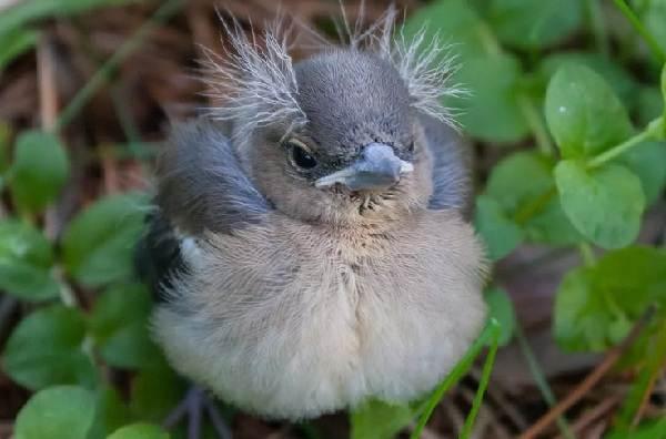 Зяблик-птица-Описание-особенности-образ-жизни-и-среда-обитания-зяблика-14