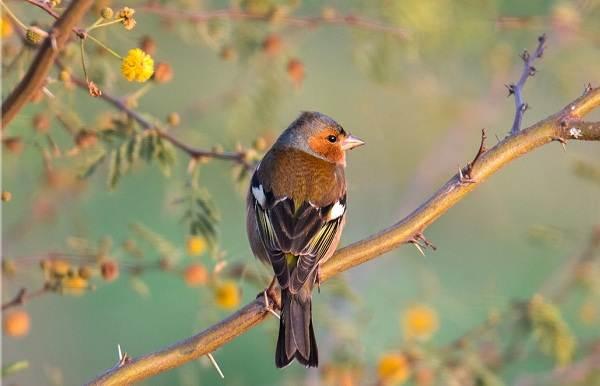 Зяблик-птица-Описание-особенности-образ-жизни-и-среда-обитания-зяблика-2