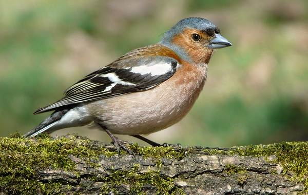 Зяблик-птица-Описание-особенности-образ-жизни-и-среда-обитания-зяблика-3