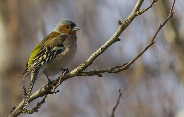 Зяблик-птица-Описание-особенности-образ-жизни-и-среда-обитания-зяблика-5