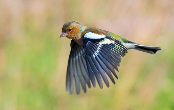 Зяблик-птица-Описание-особенности-образ-жизни-и-среда-обитания-зяблика-7