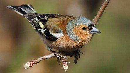 Зяблик птица. Описание, особенности, образ жизни и среда обитания зяблика