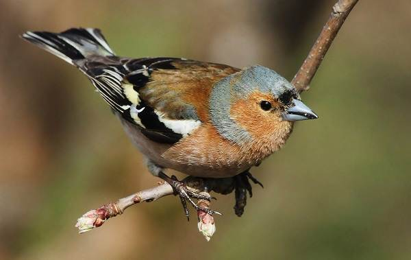 Зяблик-птица-Описание-особенности-образ-жизни-и-среда-обитания-зяблика-8