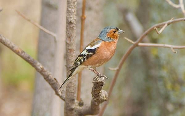 Зяблик-птица-Описание-особенности-образ-жизни-и-среда-обитания-зяблика-9