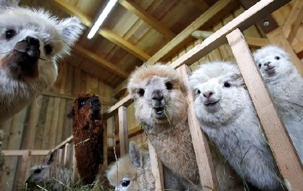 Альпака-животное-Описание-особенности-образ-жизни-и-среда-обитания-альпака-10
