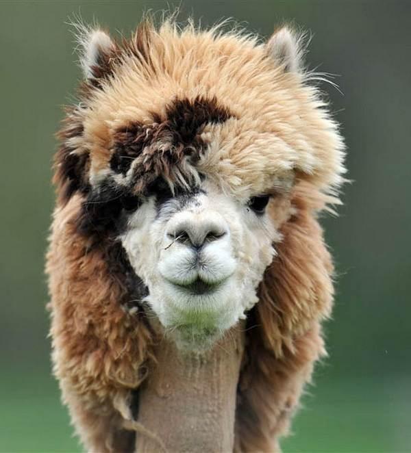 Альпака-животное-Описание-особенности-образ-жизни-и-среда-обитания-альпака-12