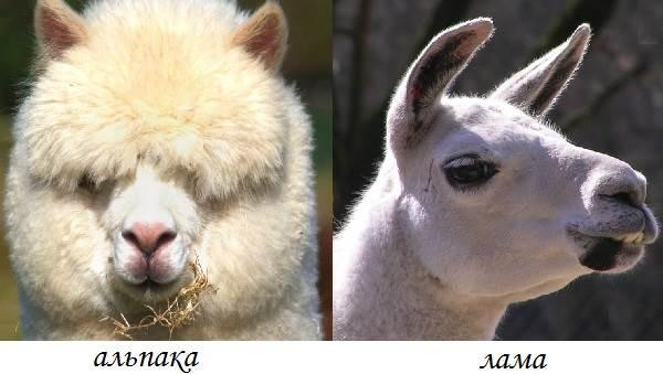 Альпака-животное-Описание-особенности-образ-жизни-и-среда-обитания-альпака-5