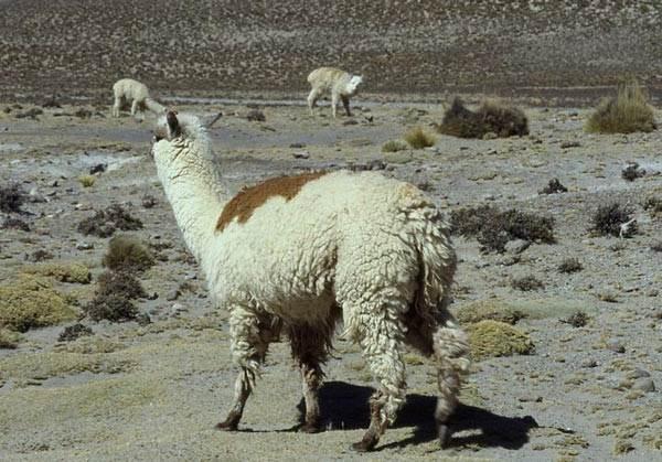 Альпака-животное-Описание-особенности-образ-жизни-и-среда-обитания-альпака-6