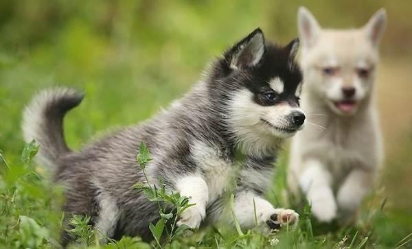 Аляскинский-кли-кай-собака-Описание-особенности-цена-уход-и-содержание-породы-1