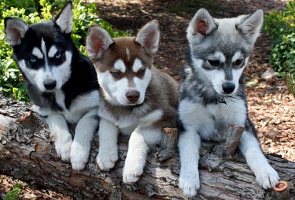 Аляскинский-кли-кай-собака-Описание-особенности-цена-уход-и-содержание-породы-10