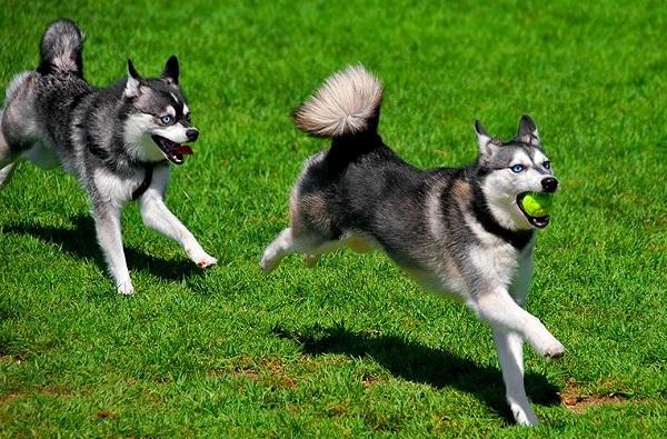 Аляскинский-кли-кай-собака-Описание-особенности-цена-уход-и-содержание-породы-11