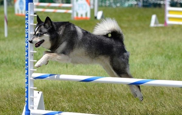 Аляскинский-кли-кай-собака-Описание-особенности-цена-уход-и-содержание-породы-13